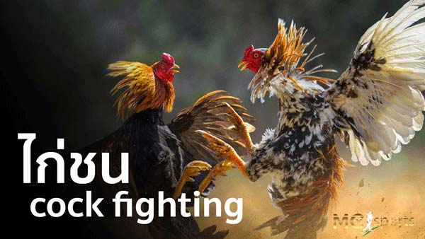 Cock Fighting betting online